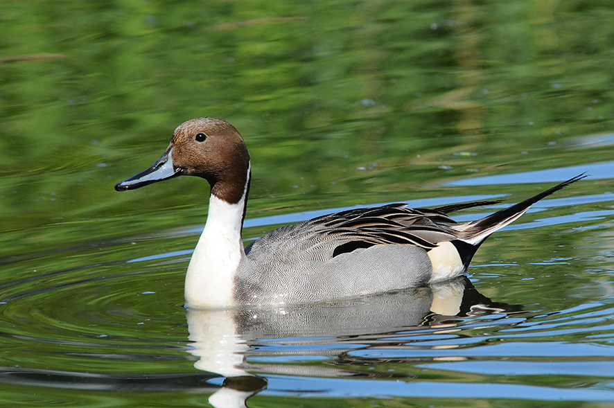 Northern pintail, © Biopix N Sloth
