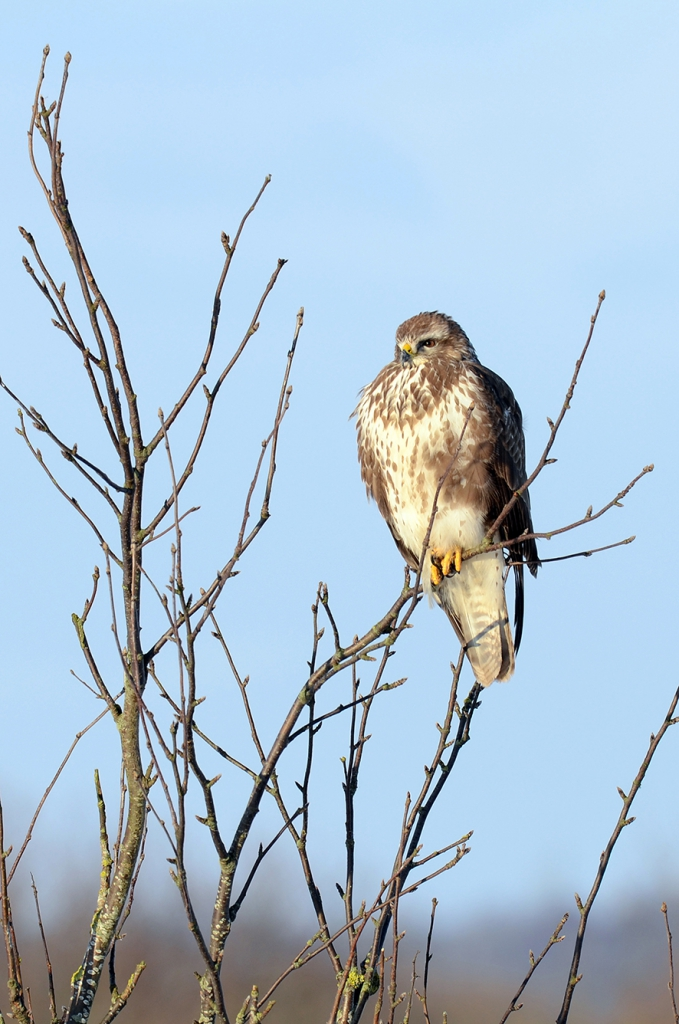 Common buzzard, © Biopix: N Sloth