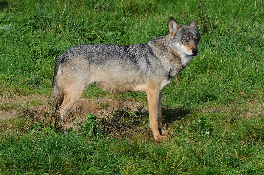 Der findes få omstrejfende ulve i Danmark. Foto: Biopix N Sloth.