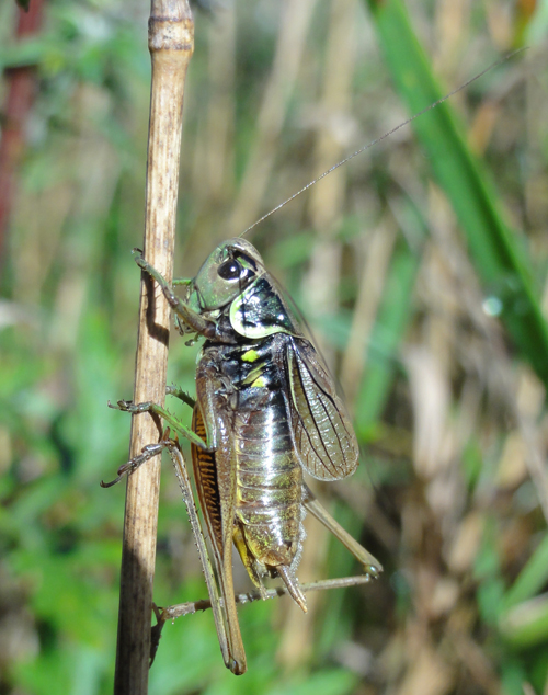Cikadegræshoppe
