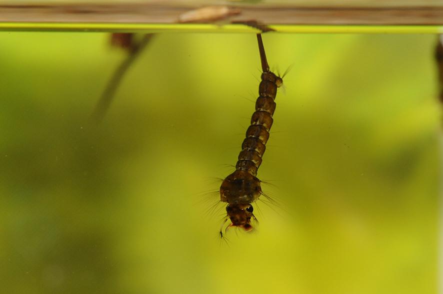 die Larven der Stechmücke