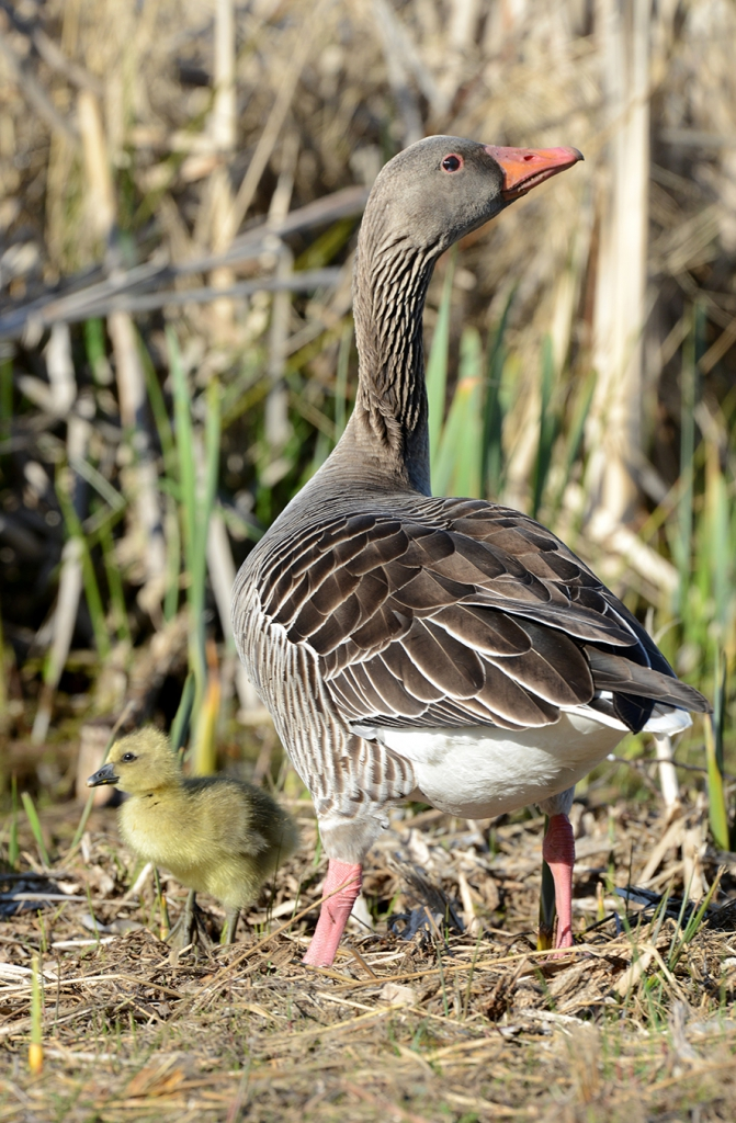 Greylag goose, © Biopix JC Schou