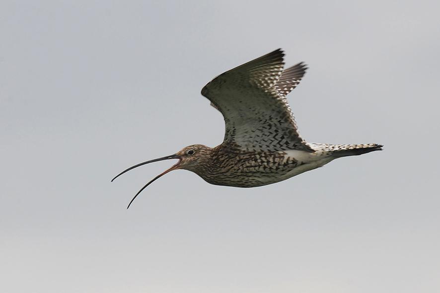 Großer Brachvogel, © Biopix JC Schou