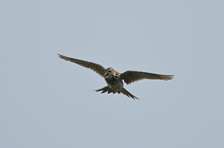 Eurasian skylark, © Biopix J Madsen