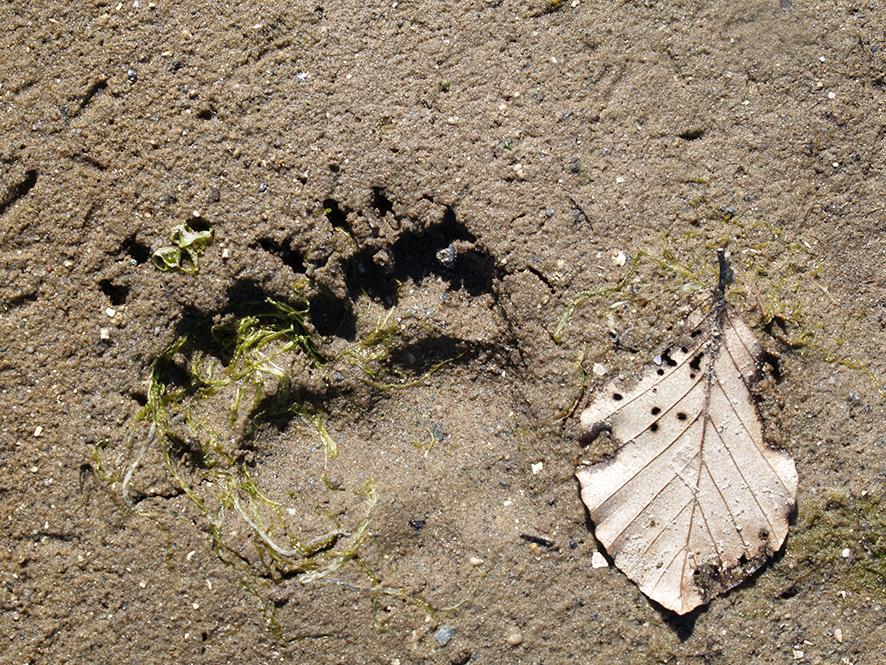 Fodspor fra en odder i sandet. Foto: Biopix N Sloth.