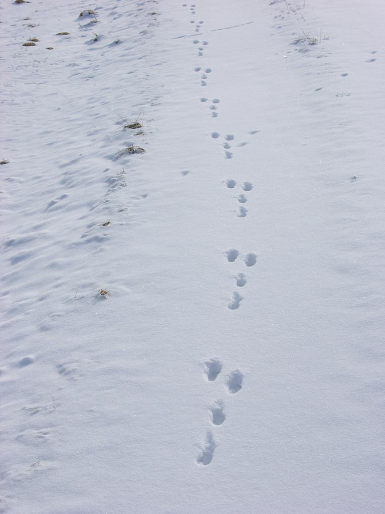 En hare har løbet i sneen. Foto: Biopix N Sloth.