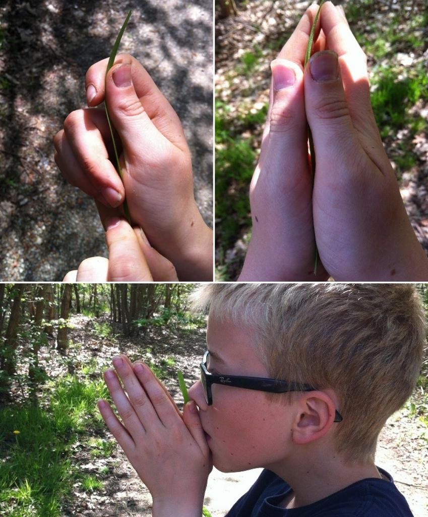 Lav en græsfløjte ved hjælp af et græsstrå udspændt mellem tommelfingrene. Fotos: Anne-Vibe Jensen.