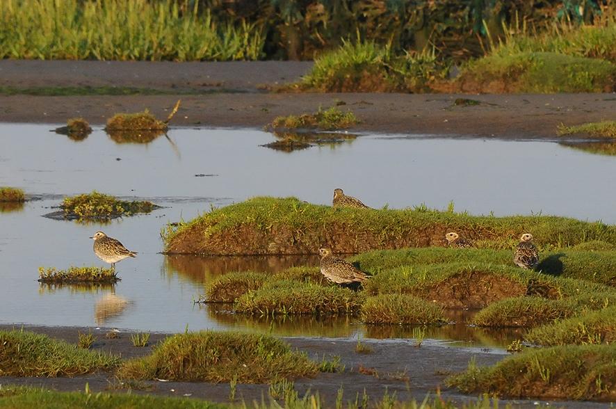 Golden plover, © Biopix N Sloth