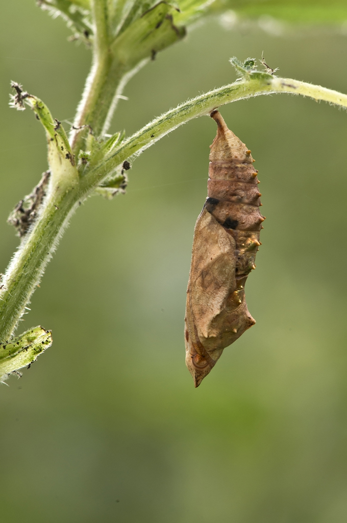 The pupa of small tortoiseshell butterflies