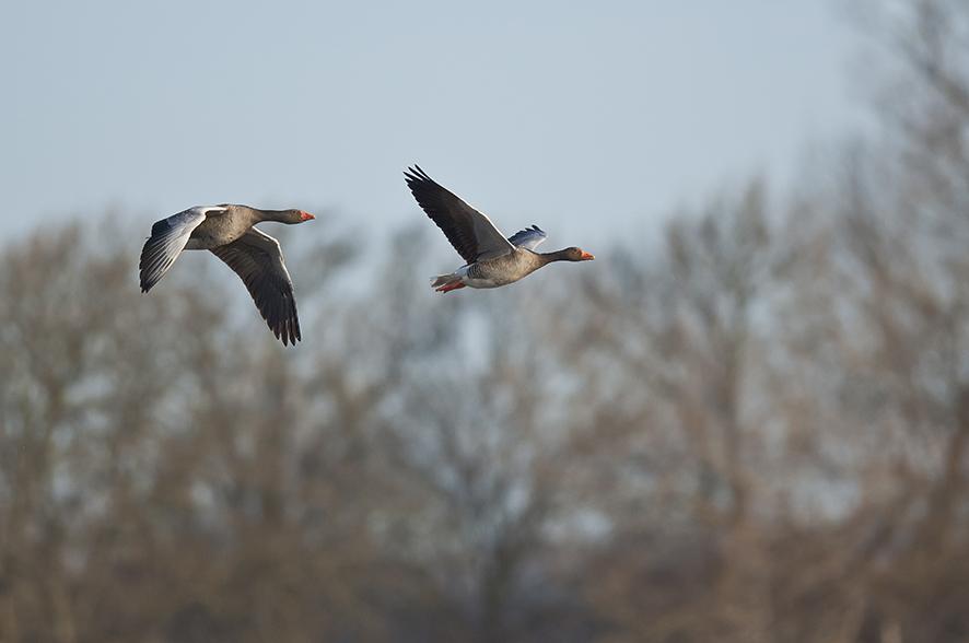 Greylag goose, © Biopix SD Lund