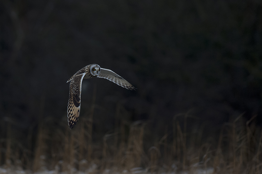 Short-eared owl, © Biopix SD Lund