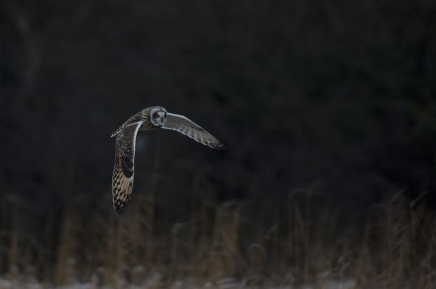 Sumpfohreule, © Biopix SD Lund
