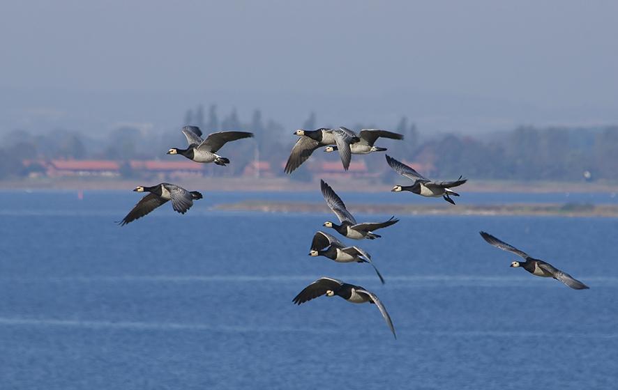 Barnacle goose. © Biopix SD Lund