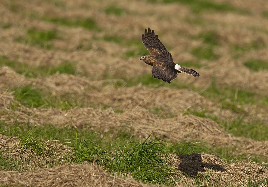 Northern harrier, © Biopix SD Lund