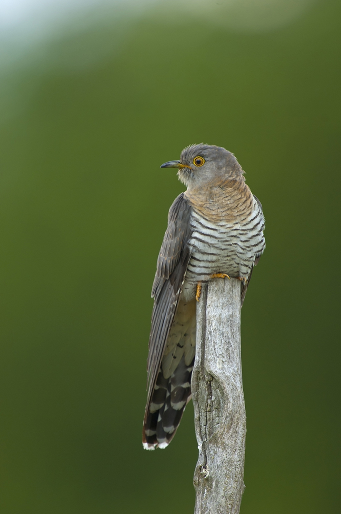 Cuckoo, © Biopix SD Lund