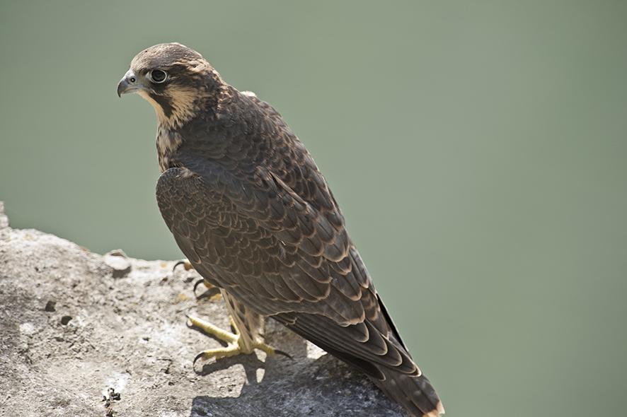 Peregrine falcon, © Biopix SD Lund