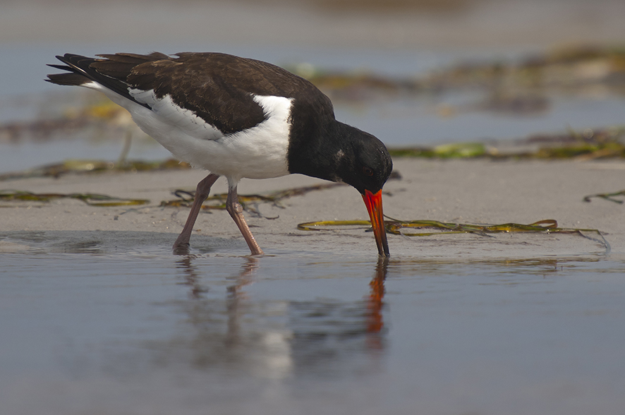 Oyster catcher, © Biopix SD Lund