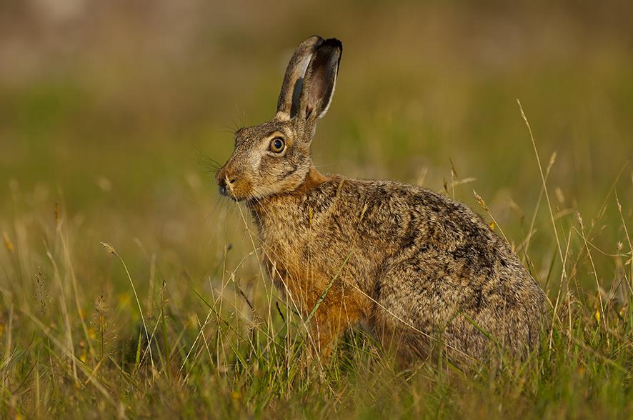 Haren har lange bagben så den kan flygte fra rovdyr. Foto: Biopix SD Lund.