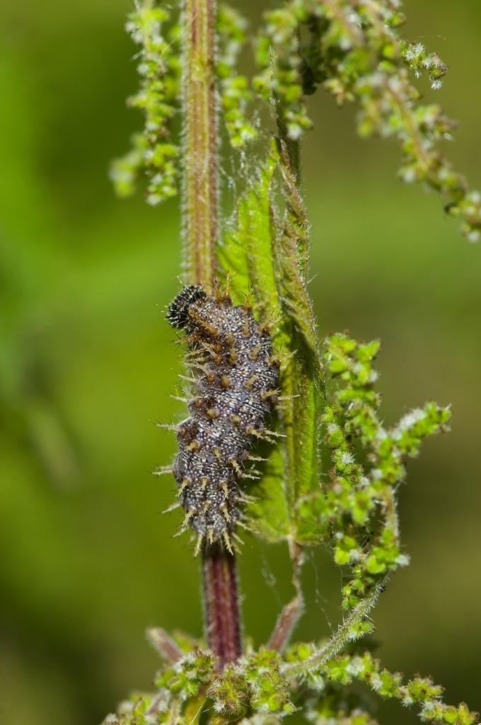 Admiral larve
