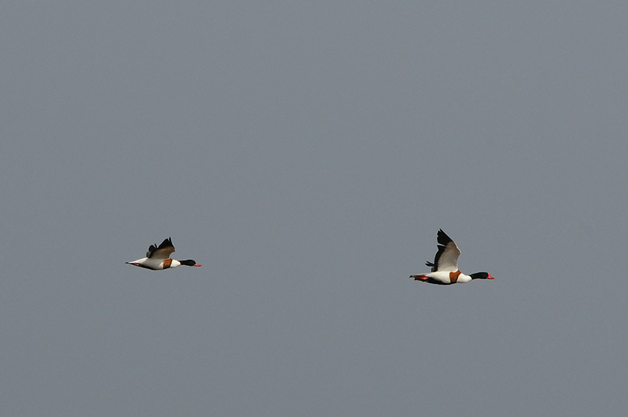 Common shelduck, © Biopix N Sloth